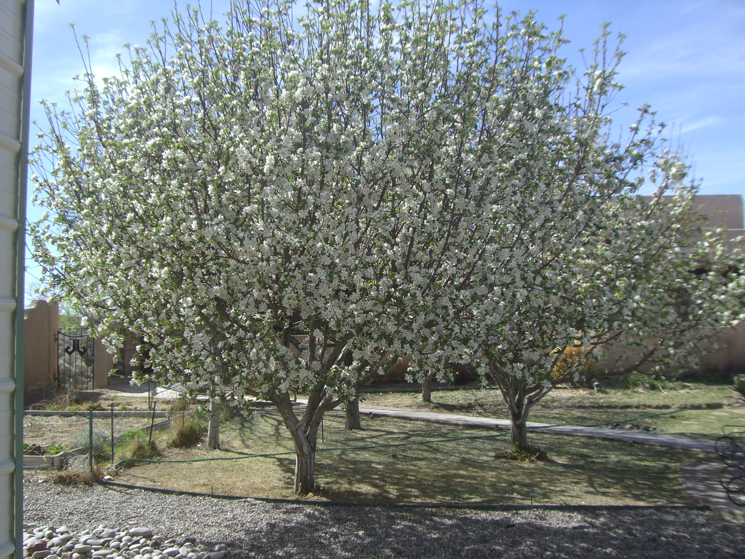 flowering fruit trees, 4/04/2011