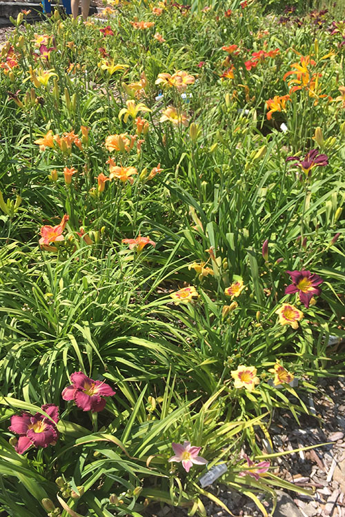 Donna's Day Lilies